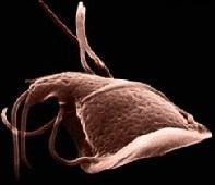 giardia cryptosporidium poate giardia trăi în apă cu puțuri